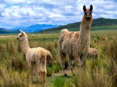Llama-Goats