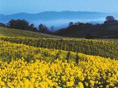 Top 10 places to visit in California!... Napa Valley (Field of mustard)