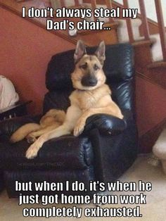I don't always steal my Dad's chair… but when I do, it's when he just got home from work completely exhausted. http://www.sweetshepherdrescue.com.au/