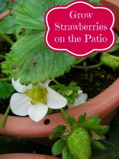 How To Grow Strawberries On Your Patio or Deck - Moms Need To Know ™