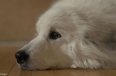 Snowy, great pyrenees-looks just like our Jazz we lost in Pyrenees Puppies, Great Pyrenees Puppy, Dogs And Puppies, Huge Dogs, I Love Dogs, Secret Life Of Pets, Mountain Dogs, Working Dogs, Mans Best Friend