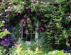 rosa zephirine drouhin