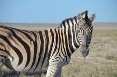 Free Image on Pixabay - Zebra, Head, Striped, Black White