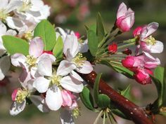 Crab Apple tree - all about native British trees on the Woodland Trust