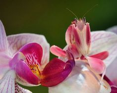 Camouflaged Orchid Mantis