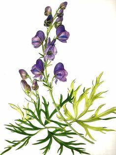 Vintage Flower Print - Botanical Print - Aconite Plant - Purple Flower - The Language of Flowers - Flower Wall Art - Marilena Pistoia