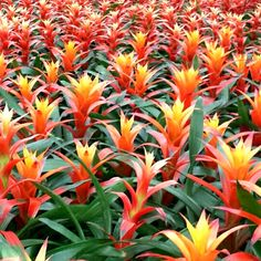 Easy To Grow Houseplants Clean the Air Unlike Seasonal Plants, Its Always A Good Time To Have A Bromeliad. Find out About The Plants With These 8 Interesting Facts About Bromeliads. Florida Landscaping, Florida Gardening, Tropical Landscaping, Garden Landscaping, Landscaping Ideas, Tropical House Plants, Tropical Garden Design, Tropical Art, Air Plants