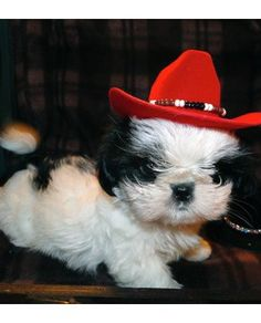 Shih Tzu- This could have been Claire as a puppy, but unfortunately I didn't own any tiny red cowboy hats.