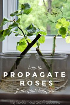 If You Love The Rose From Your Bouquet, Propagate It! This does not take great skill! You can root these from a bouquet you've received from the florist! Rose Cuttings, Plant Cuttings, Rose Propagation, Garden Plants, House Plants, Flower Gardening, Water Plants, Rooting Roses, Hydrangea Colors