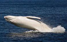 """Migaloo é uma baleia rara descoberta pela primeira vez em 1991 ao longo da costa de Queensland, na Austrália. Seu nome vem de uma palavra aborígene e significa algo como """"sujeito branco"""". Ela é rara porque é a única baleia-jubarte albina de que temos conhecimento. Migaloo, que é um macho, é inclusive protegido sob a lei australiana."""