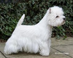 lynnstomanabouttown2011web.jpg A BEAUTIFULLY GROOMED CHAMPION WESTIE
