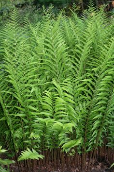 One of the best ferns out there!  Dryopteris x australis  the Dixie Wood Fern Scratching a Niche - NYTimes.com