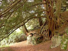 Taxus bacatta - Yew - Wakehurst Place