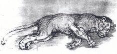 Dürer, Sleeping Lioness