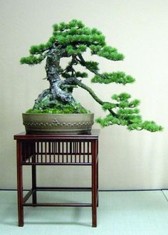 Beautiful Cascade Bonsai Tree