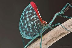Achriopterae spinosissima from Madagascar -  a very colorful stick insect species