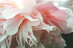 Pink Peony Rush, photograph by Amy Jackson. Ethereally lovely.