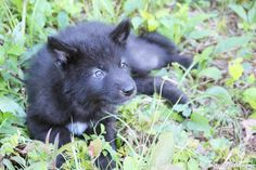 wolf pups, wolf hybrids for sale,  wolf high content , wolf pups for sale,  wolf…