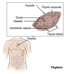 The thymus is a specialized organ of the immune system. Within the thymus, T-cells mature. T cells are critical to the adaptive immune system, where they adapt specifically to foreign invaders. Each T cell attacks a specific foreign substance which it identifies with its receptor. T cells have receptors which are generated by randomly shuffling gene segments. Each T cell attacks a different antigen. T cells that attack the body's own proteins are eliminated in the thymus.