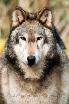 ☀Gray Wolf … WA State (by phototakinfool)