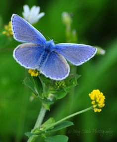 Common Blue butterfly.  photography from photography talk: http://www.photographytalk.com/