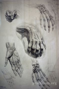 Hand Anatomy Studies