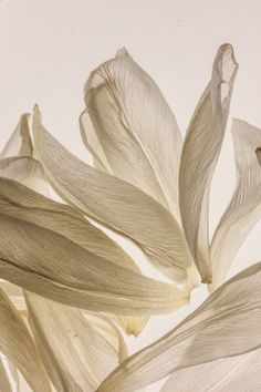 Light as feathers…  …white tulip petals