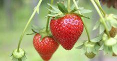 Erdbeeren muss man einfach gernhaben. Umso mehr, wenn man weiß, wie unkompliziert sich die süßen kleinen Früchte auch im Topf auf dem Balkon kultivieren lassen.