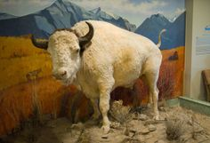There's always something neat to see at the Historical Society Museum whether it is Big Medicine - the White Buffalo you remember visiting as a kid or the newest exhibit. Especially a place to take visitors from outside of Montana, as a state we have a pretty crazy history.