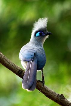 Crested Coua from Behind