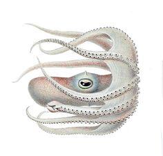 Die Cephalopoden Ewald Rübsamen File:Bathypolypus valdiviae3.jpg