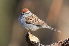 Chirping Sparrow- This morning, May 23rd, in front yard.