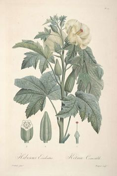 Hibiscus esculentus L. (also called Abelmoschus esculentus) - Okra, lady's fingers or gumbo From: Tussac, F.R., Flore des Antilles, t. 10 (1808) [Poiteau]