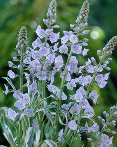 White garden 24 mid ht bloom late summer july veronica 1 x veronica gentianoides variegata mightylinksfo
