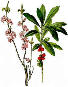 Tysbast (Daphne mezereum)