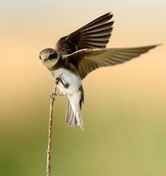 Bank Swallow -- July 4, 2012; Beaver Dick Park, Madison County, Idaho