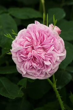 Damask Rose: Rosa 'La Ville de Bruxelles' (France, before 1837)