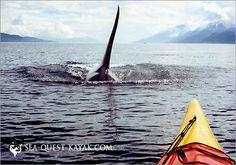 Kayaking with Killer Whales - San Juan Island, Friday Harbor, WA