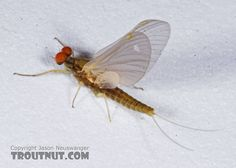 Male Attenella attenuata (Small Eastern Blue-Winged Olive) Mayfly Dun from the Namekagon River in Wisconsin