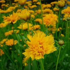 50cm, zon, vast, meisjesogen Sunrise, Garden, Plants, Garten, Sunrises, Gardens, Planters, Sunrise Photography, Tuin