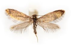 This coin-size Australian moth with iridescent wings retains features from primitive moths, and its entire adult life spans a single day. Scientists named this tiny enigma Aenigmatinea glatzella. You Ning So/CSIRO
