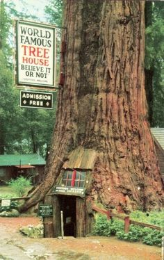 """Real Photo Post Card in Very Good, Posted in 1948 Condition. This RPPC """"Featured by Robert Ripley as the Tallest One-Room House in the World. Diameter 33 feet. Circumference at base 101 feet. Floor space 21 x 27 feet. Height of tree 250 feet. Age over 4,000 years. Hollowed by fire over 800 years ago, the tree is still vigorously growing, Believe it or not."""""""