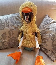 If it looks like a duck, walks like a duck and quacks like a duck, then it must be a goat in her duck coat! Happy goatoween!