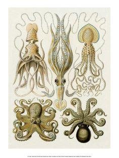 Ernst Haeckel Prints en Posters - bij AllPosters.be
