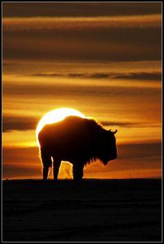 photo: *** photographer: Adam B european bison at liberty, near Sokolka (Poland), sunrise 06.01.11 - Pixdaus