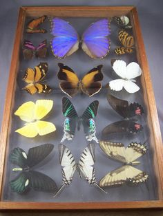 LOT OF 14 MIX BEAUTIFUL BUTTERFLY IN FRAME DISPLAY INSECT TAXIDERMY BLUE MORPHO | eBay, sold for $57.02