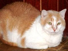 Pete is FIV+ He had an open cut on his neck, thus it became necessary to remove his front claws as with his scratching the area was unable to heal. It has now healed & he is available for adoption at Noah's Ark, Inc. Talbot,Tn.