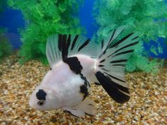 Lot# 10299 Black & White Ryukin with Butterfly Tail