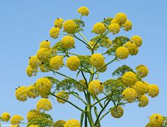 ferula communis Giant Fennel relative of extinct Silphium plant of Cyrene All Flowers, Yellow Flowers, Foeniculum Vulgare, Plant Species, Farm Gardens, Flower Seeds, Planting Seeds, Natural Treatments, Green Leaves