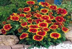 Common Perennial Gaillardia